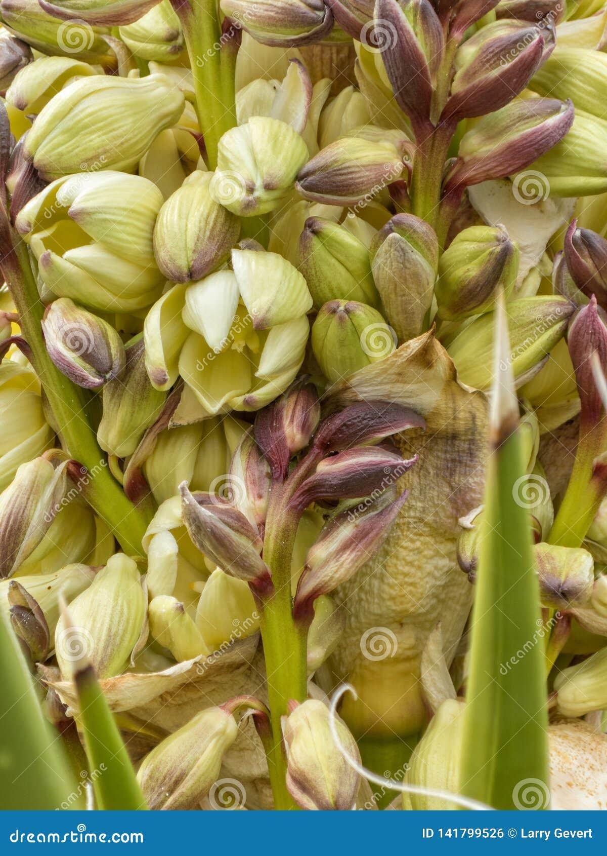 Yucca plant blossoms up close