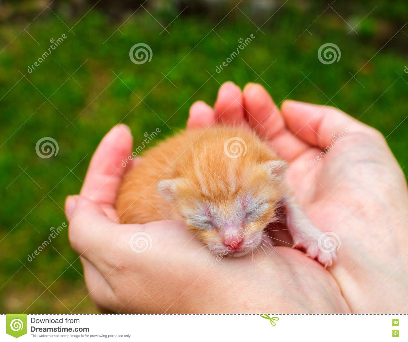 New Born Baby Cat Red Kitty In Caring Hands Cute Cat Close Phot Stock Photo Image Of Domestic Funny 82288498