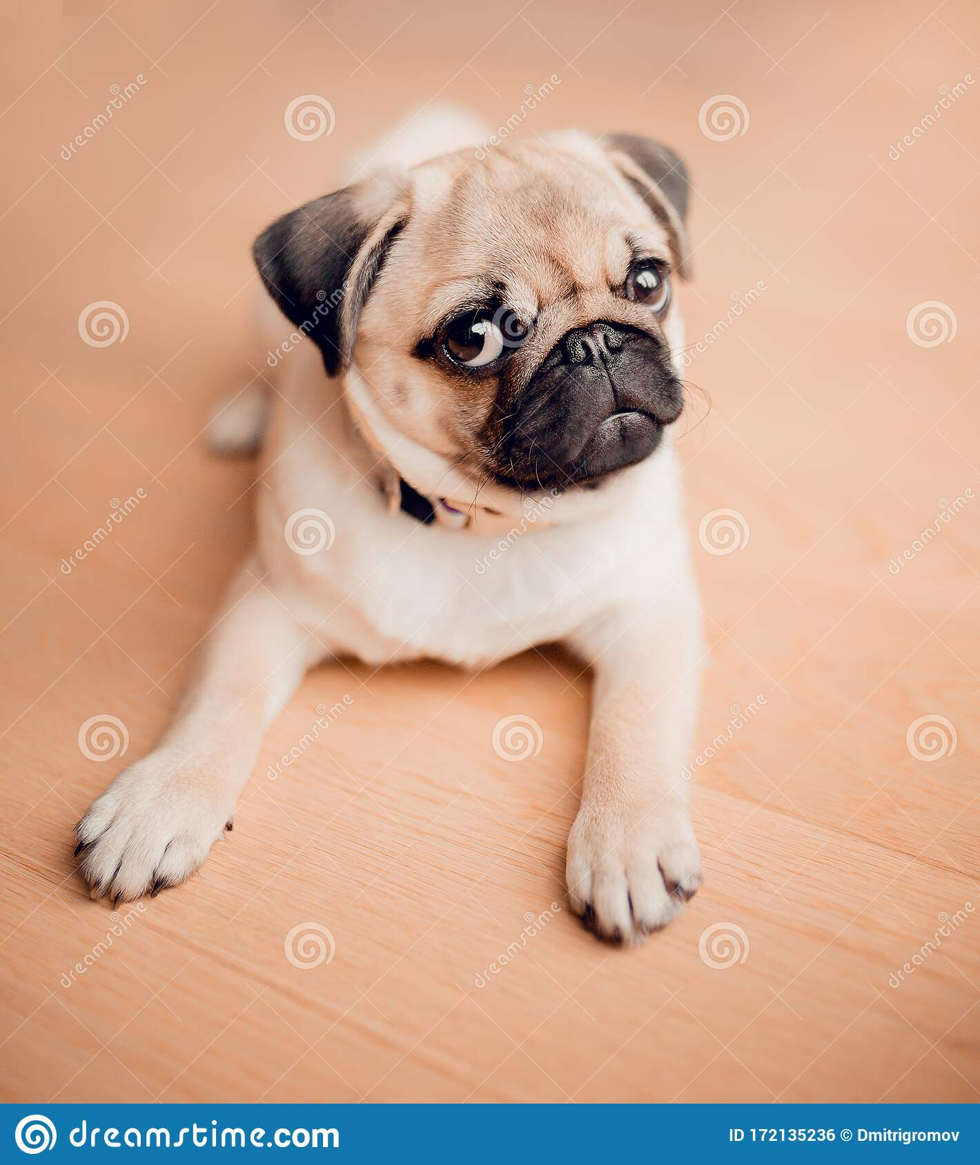 New Born Baby Pug Dog In Home Portrait Of Beautiful Female Pug Puppy Dog Stock Photo Image Of Brown Adorable 172135236