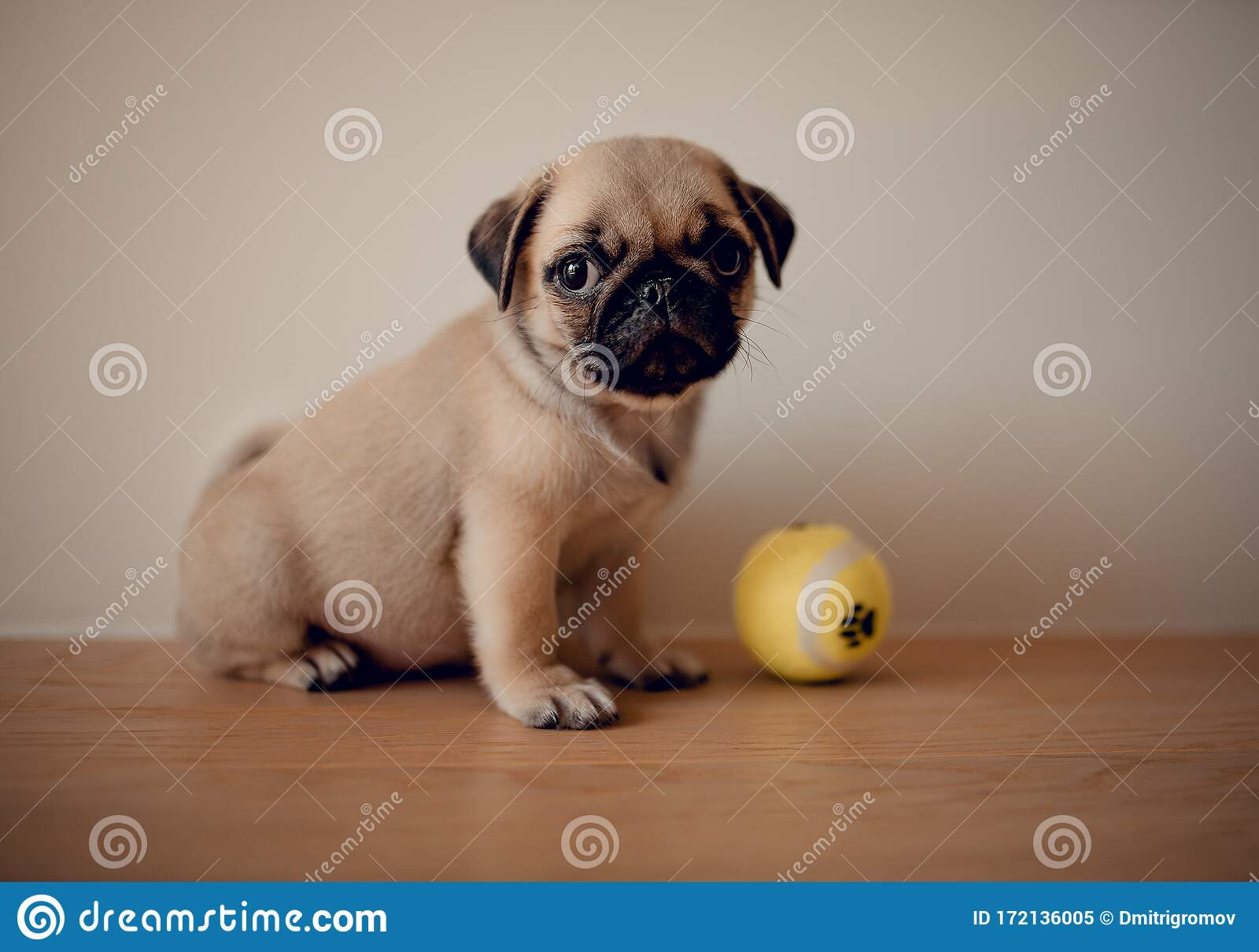 Baby Cute Female Puppy Pug Dog With Toy In Home Stock Image Image Of Female Closeup 172136005