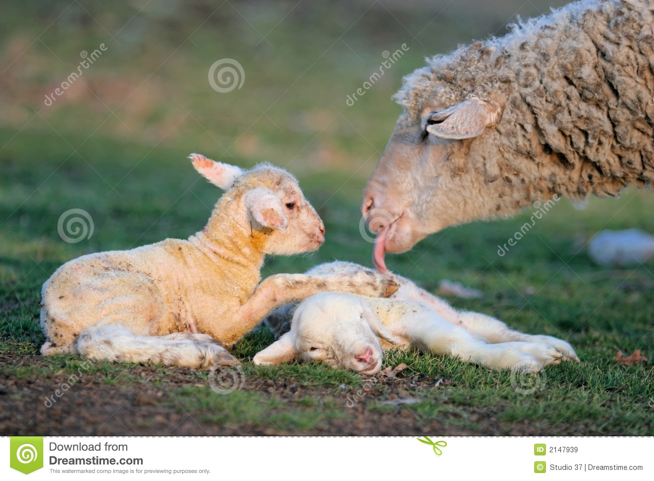 Download New born two little lambs stock image. Image of sheep - 2147939
