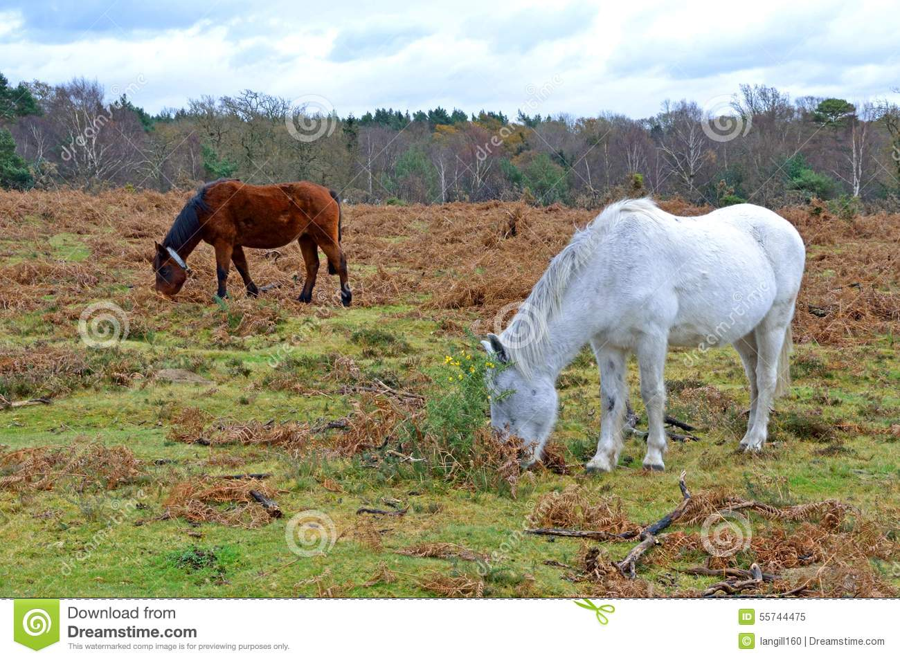new forest ponies the new forest hampshire england stock image