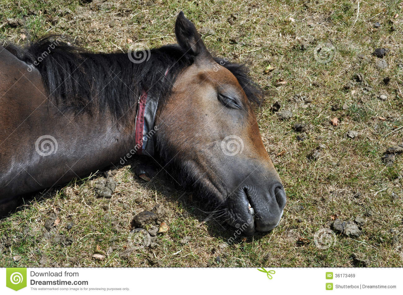 New Forest Pony Asleep England Royalty Free Stock Images - Image ...
