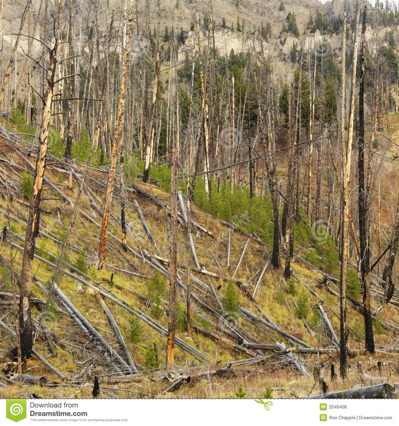 New Growth After Forest Fire. Stock Photo - Image of ...