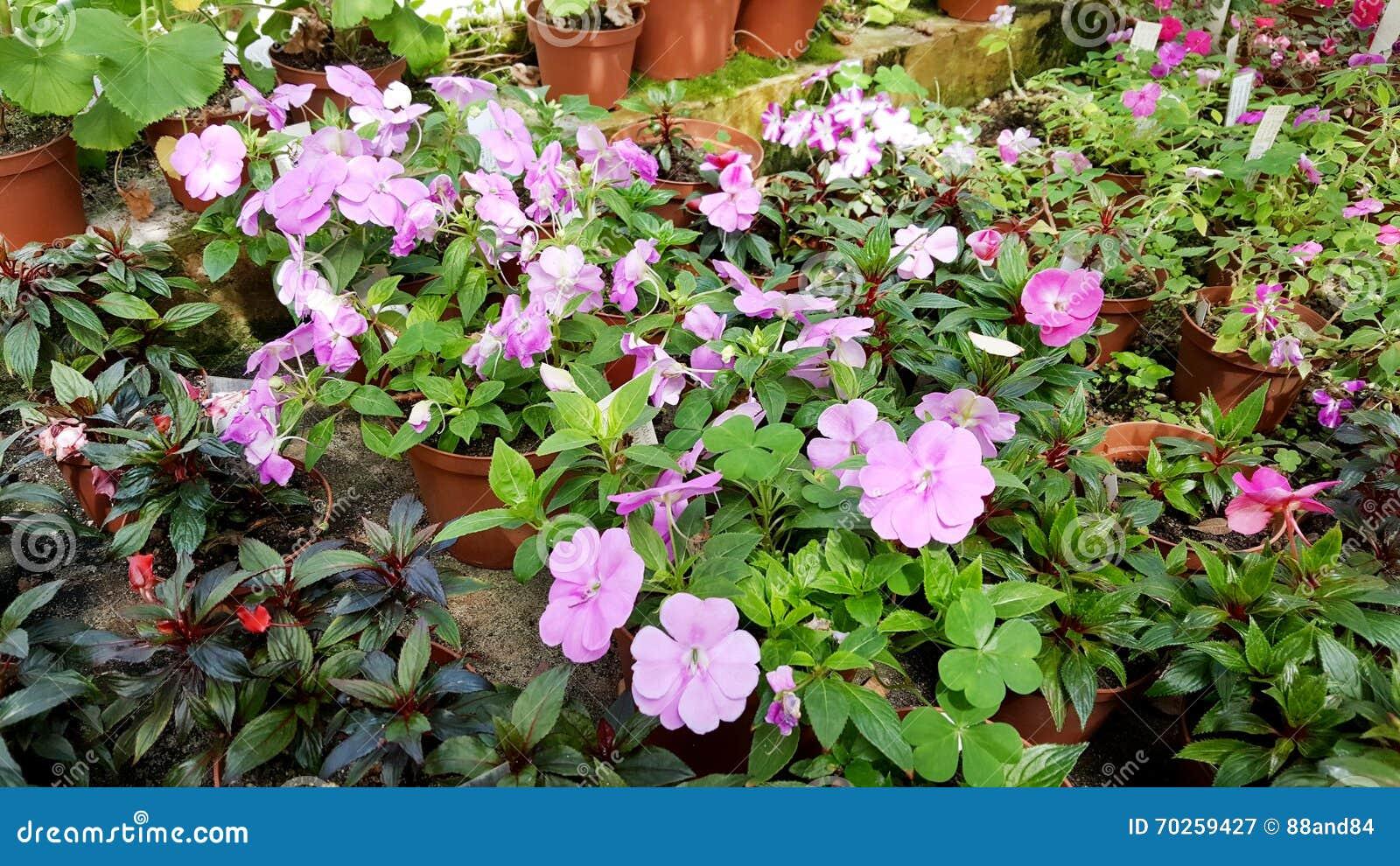 New Guinea Hybrid Impatiens Flowers Stock Image