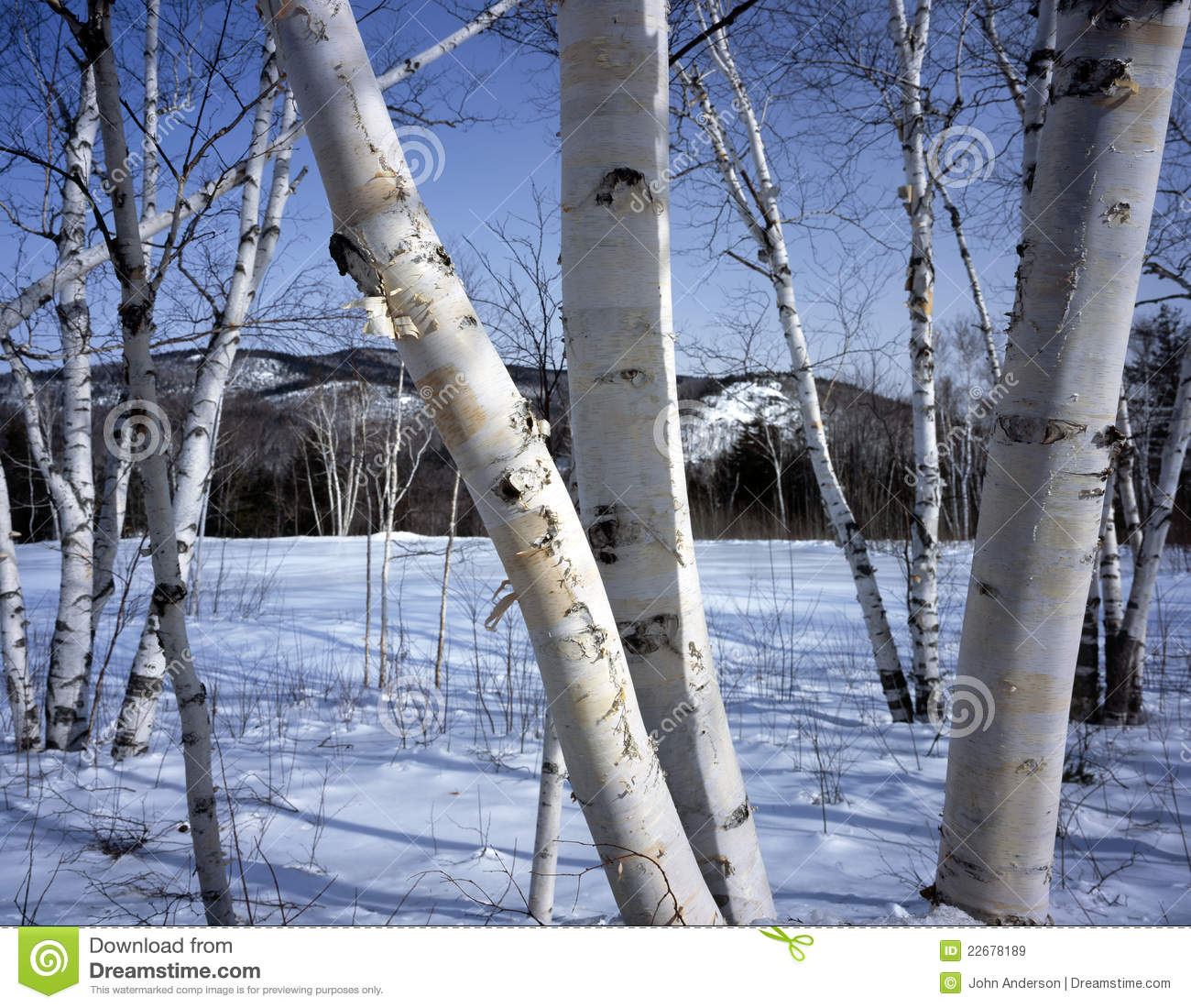 Birch trees in the winter stock photo image 2170700 - New Hampshire White Birch Trees In Winter Royalty Free Stock Images