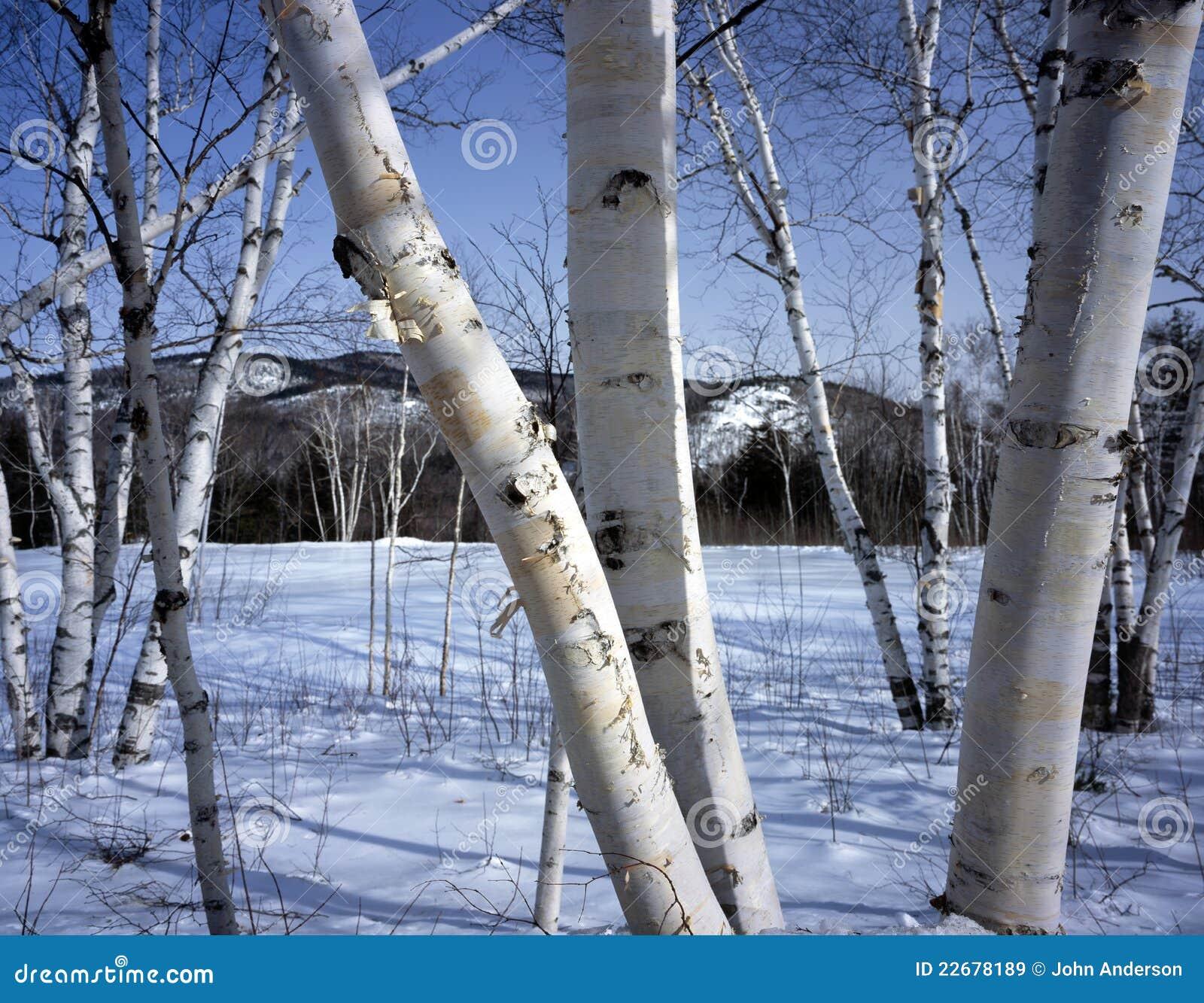 New Hampshire White Birch Trees In Winter Stock Image