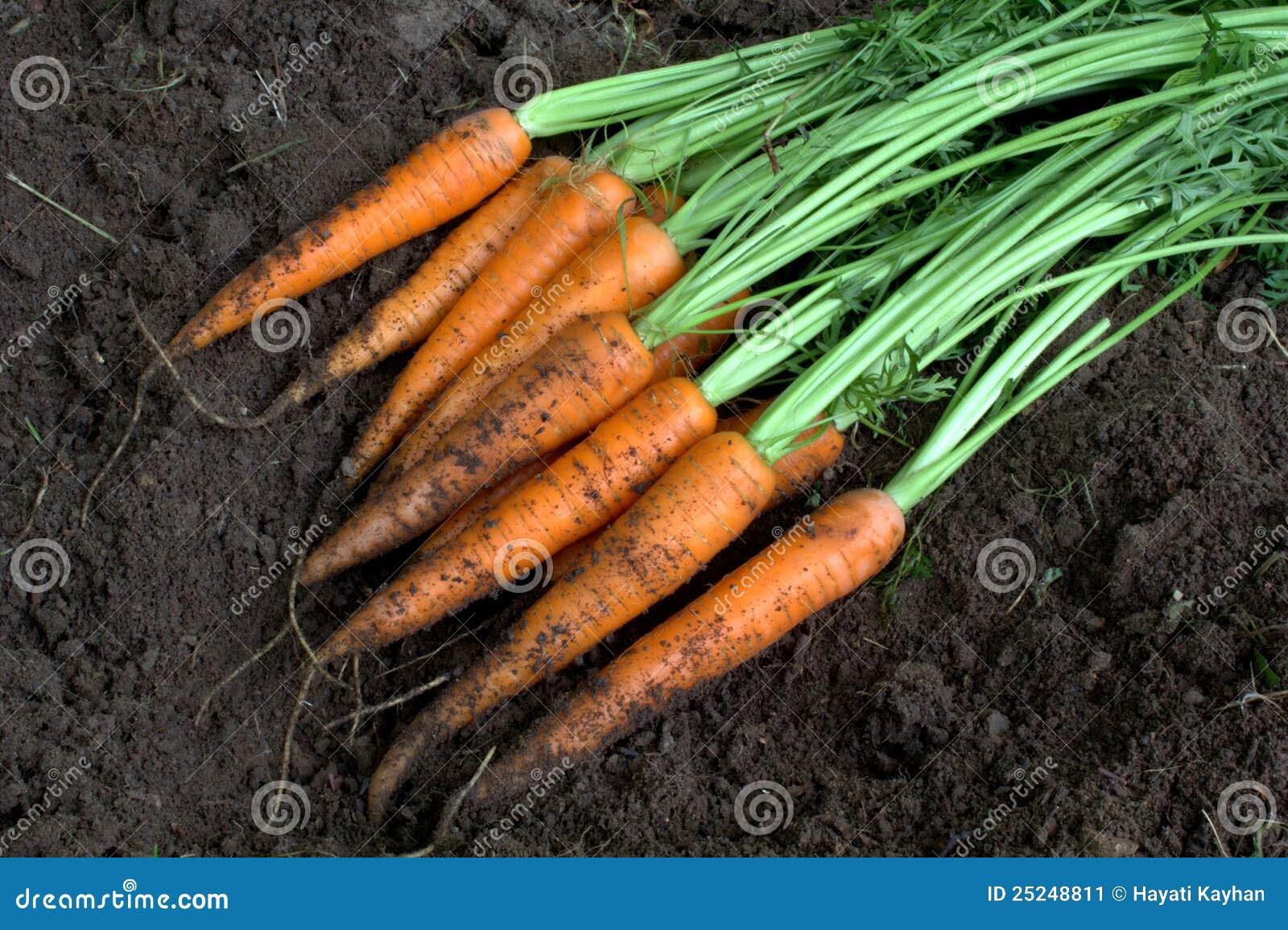 New harvest fresh organic carrots on soil stock image for Harvest organic soil