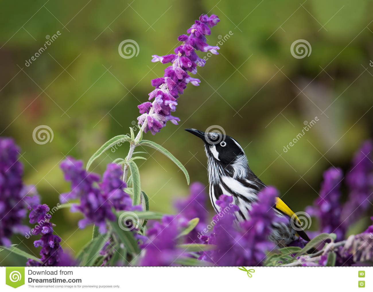 New Holland Honeyeater in Mexican Bush Sage