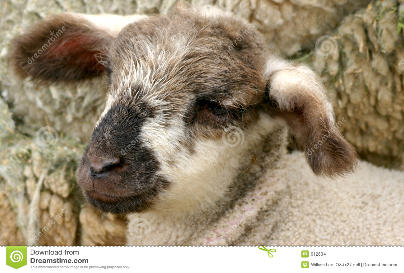 New Lamb 2