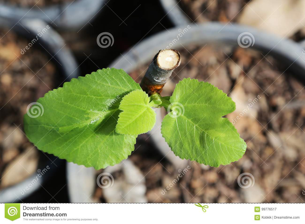 New life of a common fig plant.