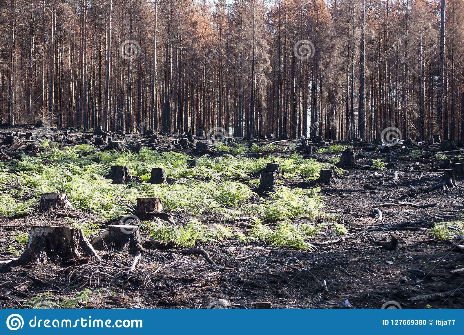 New life with green ferns in sunlight after forest fire