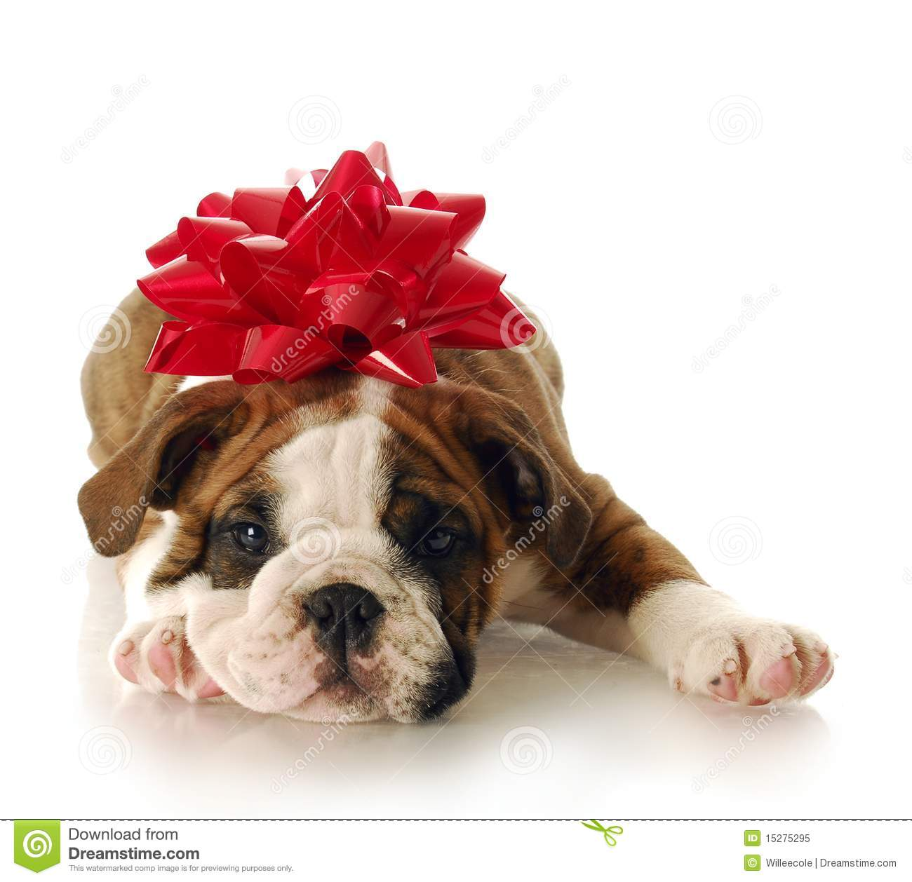 Adorable english bulldog puppy with red bow on his head with ...