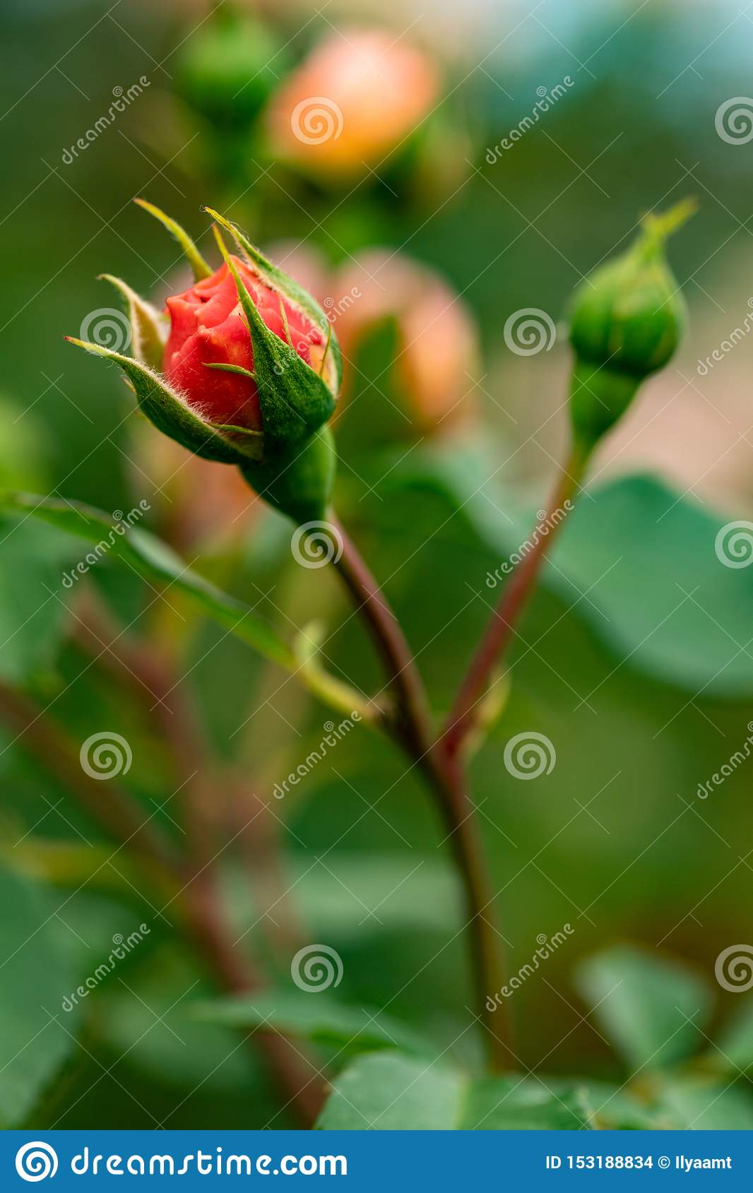 New red rose bud. Young graceful spray rose. A small bud of a blooming flower. Closeup of a rose bud in a garden. Natural backgrou