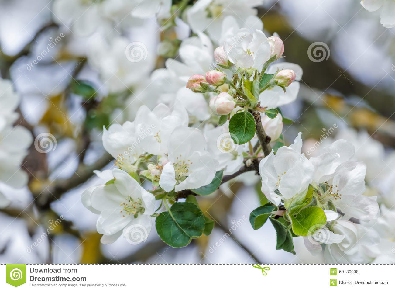 New Spring Season Apple Tree Branch In Full Bloom With Pink And
