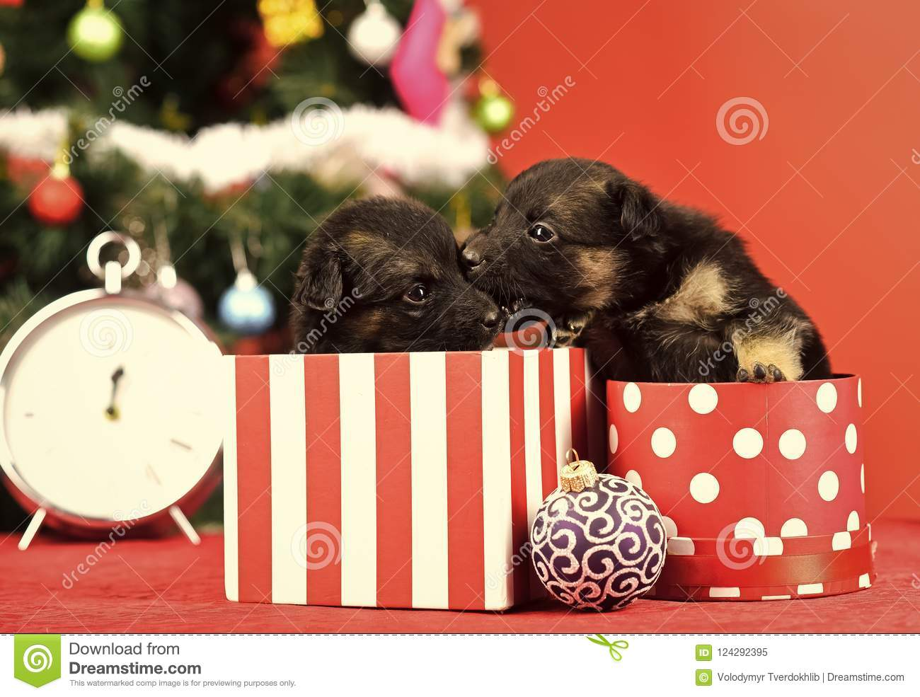 New Year Of Dog Puppy In Present Christmas Box Stock Image Image Of Cute Midnight 124292395