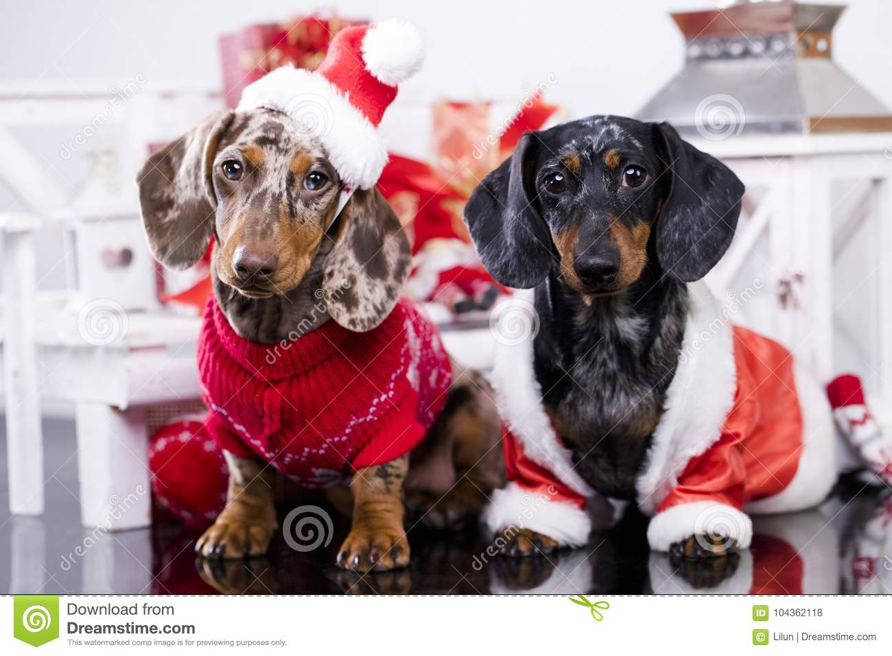 download christmas dachshund puppies stock photo image of doggy animal 104362118 - Christmas Dachshund