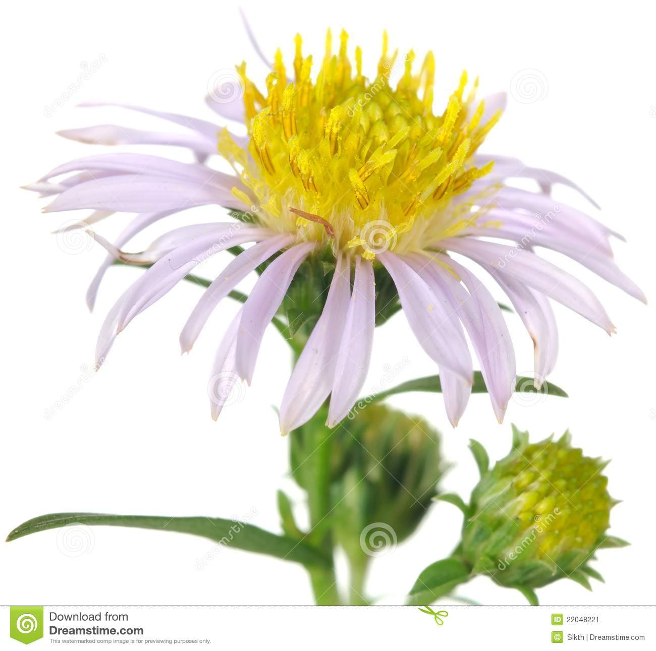 New York Aster Flower Close up Stock Image Image