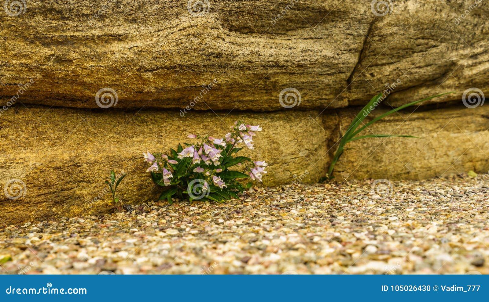 New York Botanical Garden Bellflower Stock Photo - Image of ...