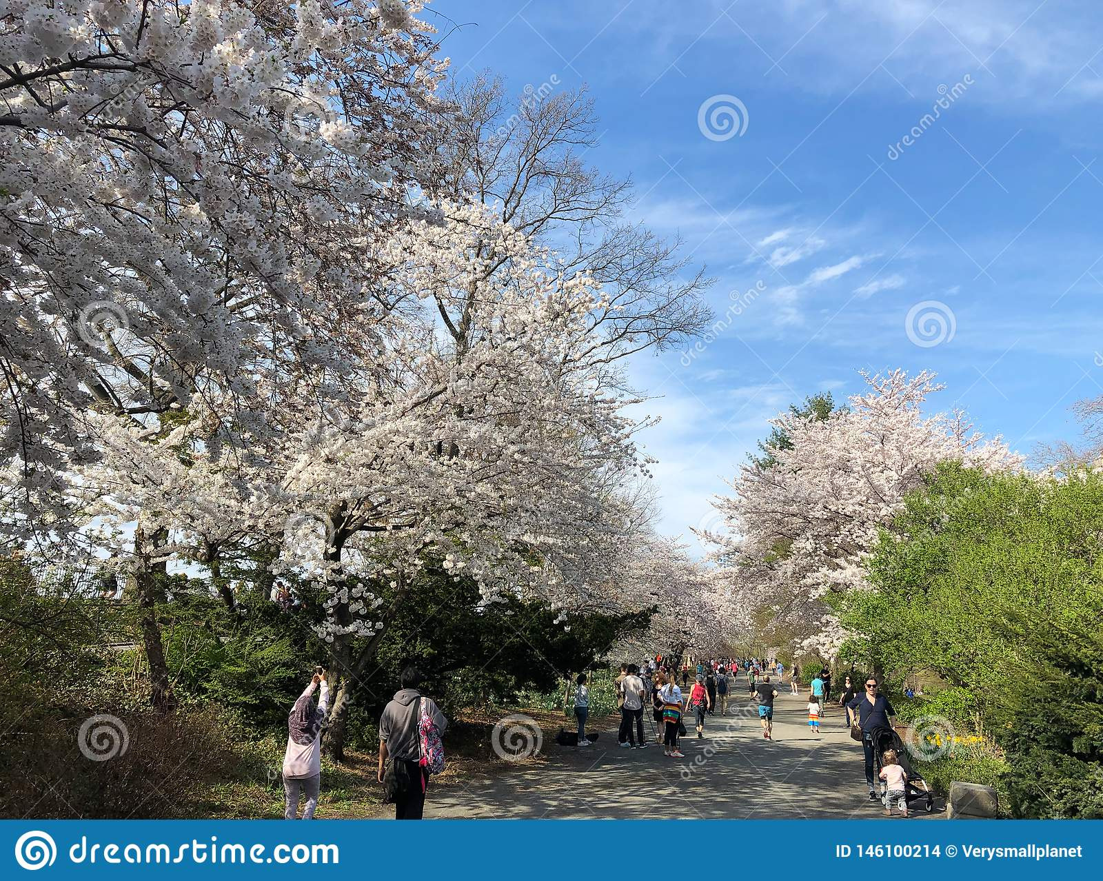 New York City, NY, USA - April 13 2019: Gorgeous cherry blossom in Central Park