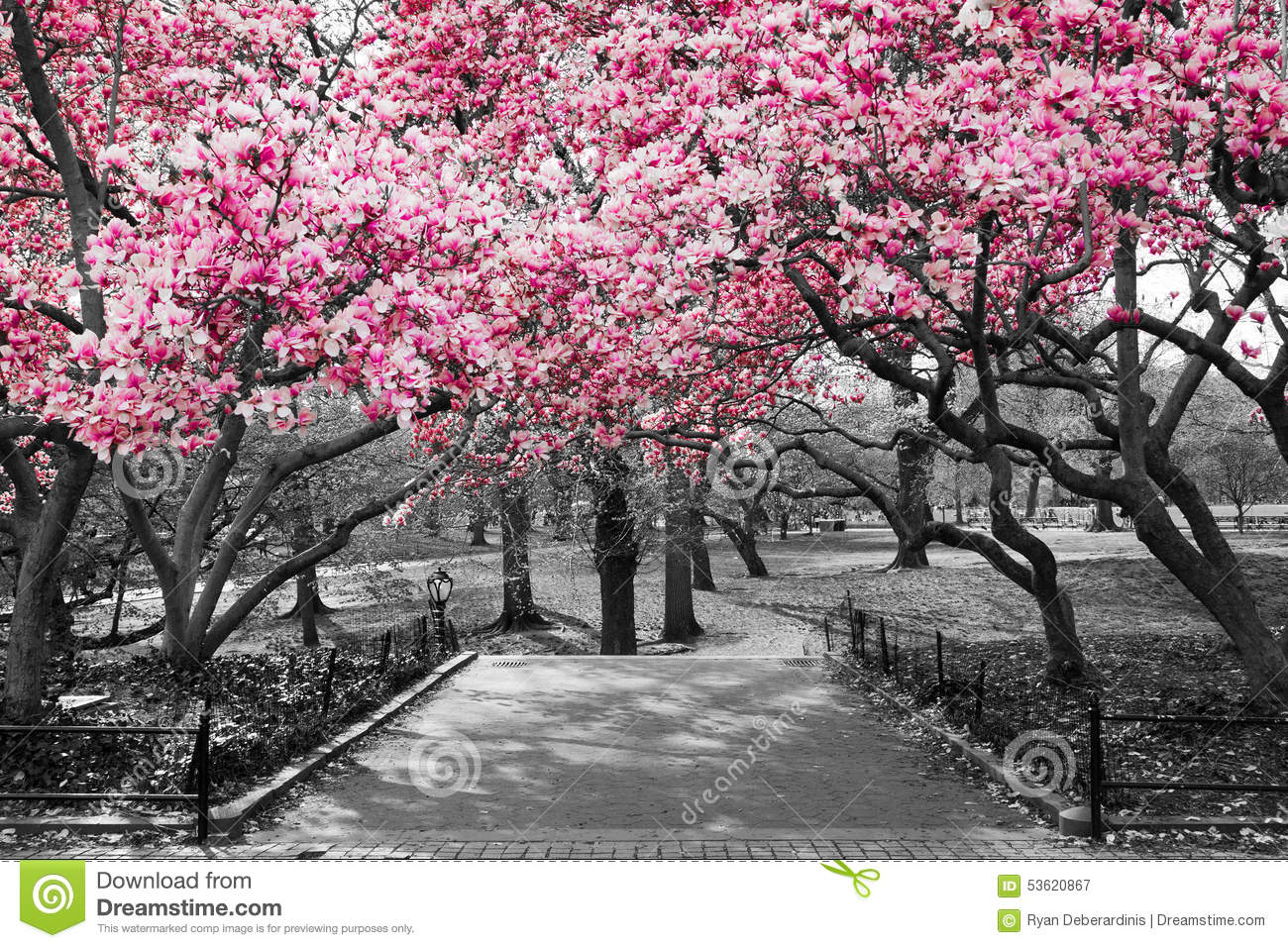 New York City Pink Blossoms In Black And White Stock