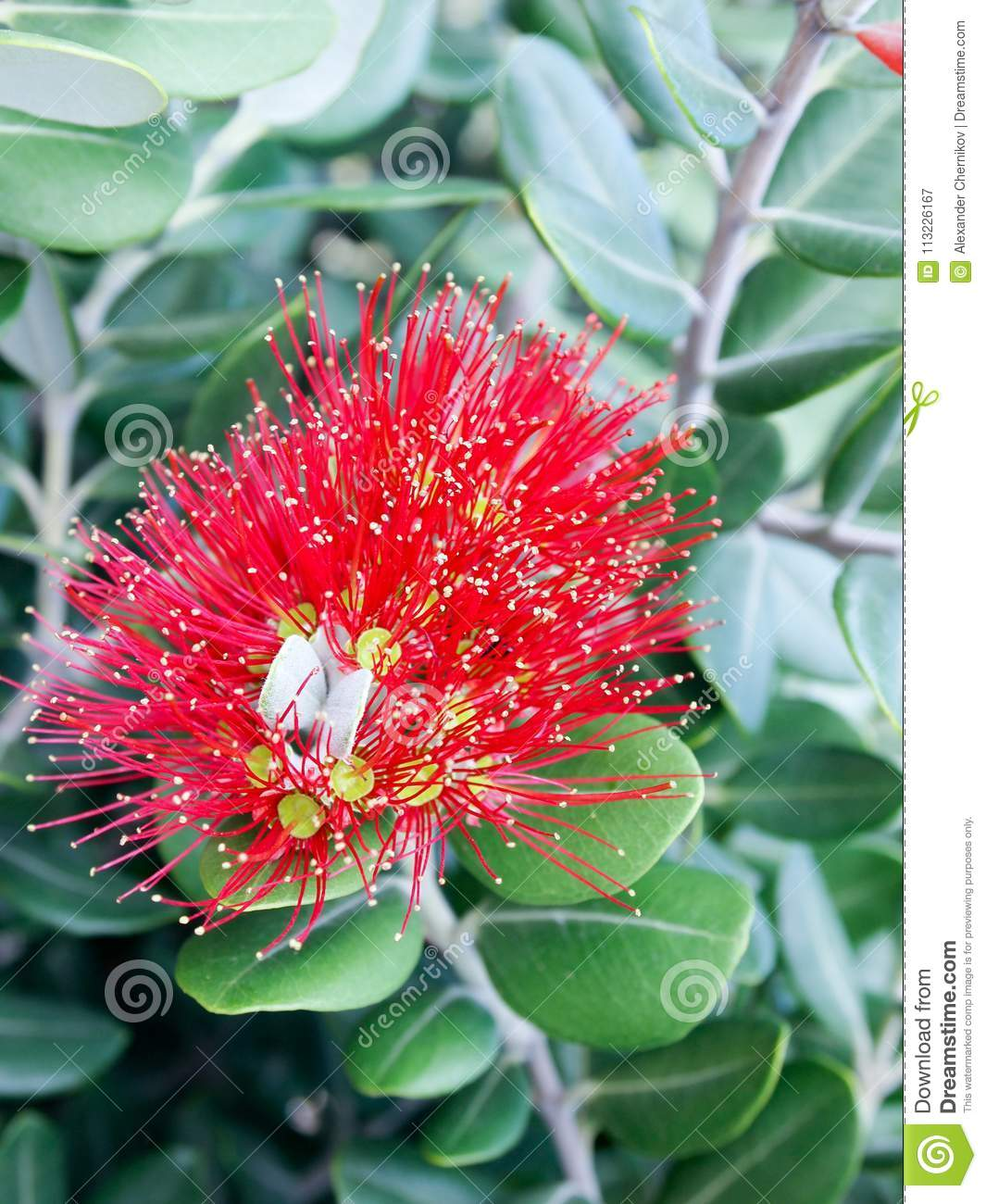 New Zealand Christmas Tree Metrosideros Excelsa Stock Image Image