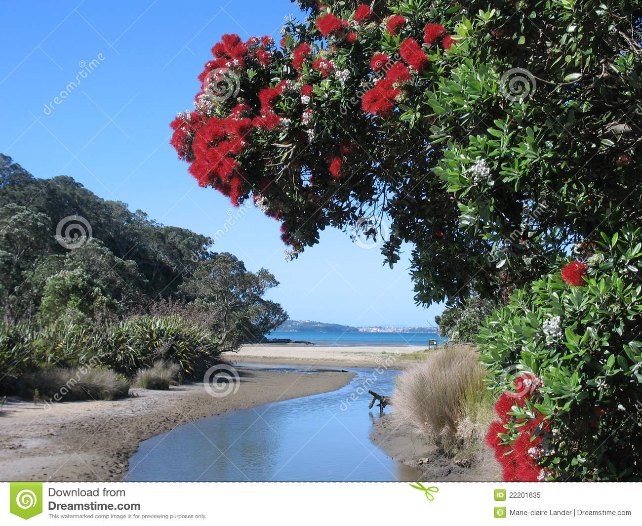 New Zealand Coastal Pohutukawa Royalty Free Stock Photo ...