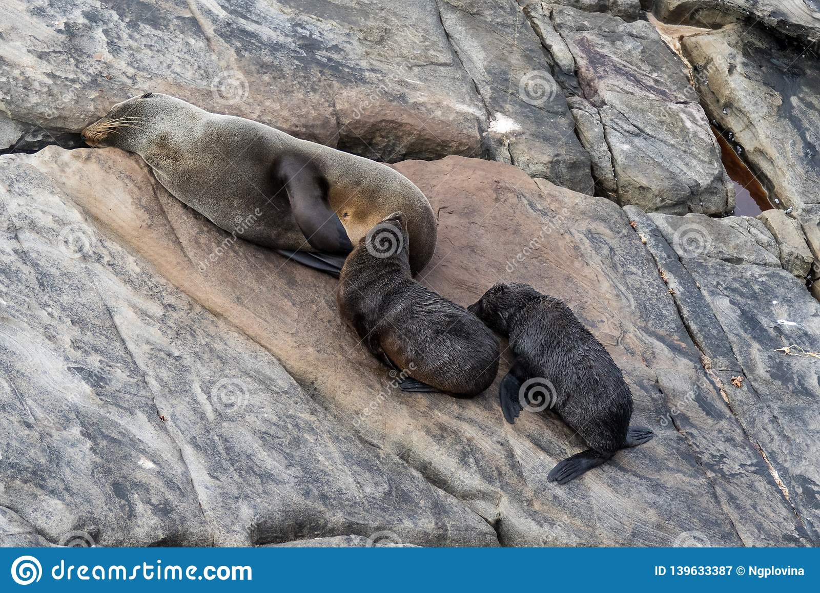 New Zealand Fur Seal, Arctocephalus forsteri, long-nosed fur seal feeds its baby puppy. Australasian fur seal, South