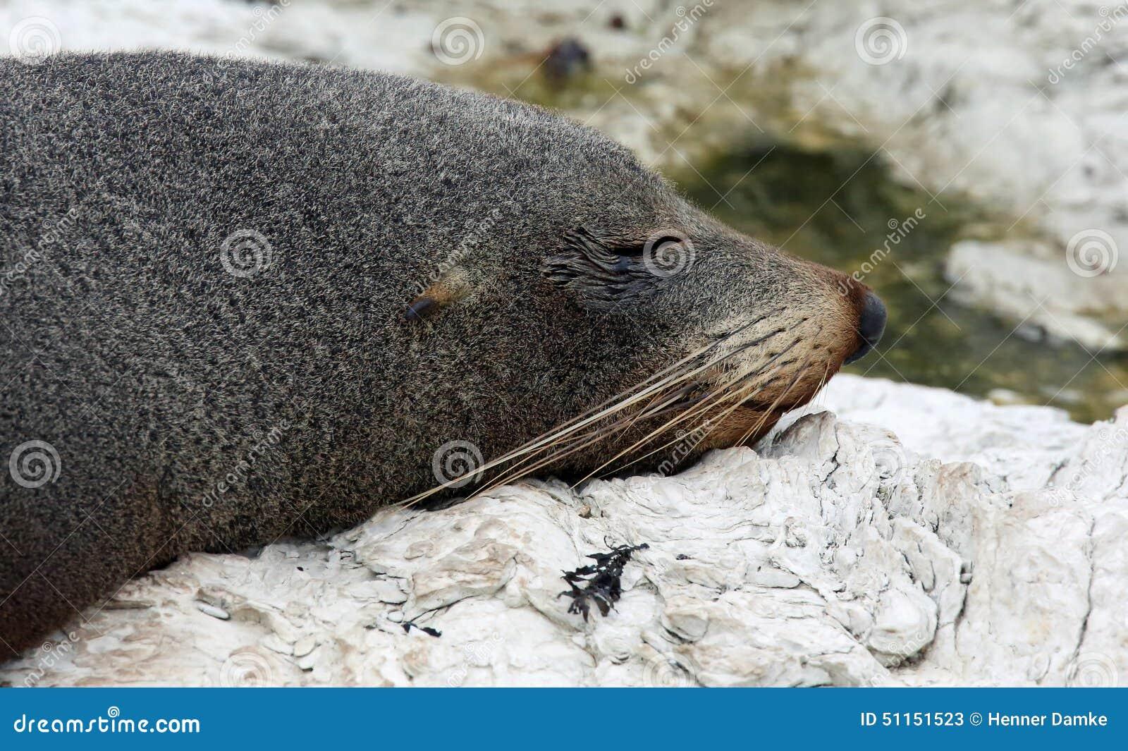 New Zealand Fur Seal near Kaikoura (New Zealand)