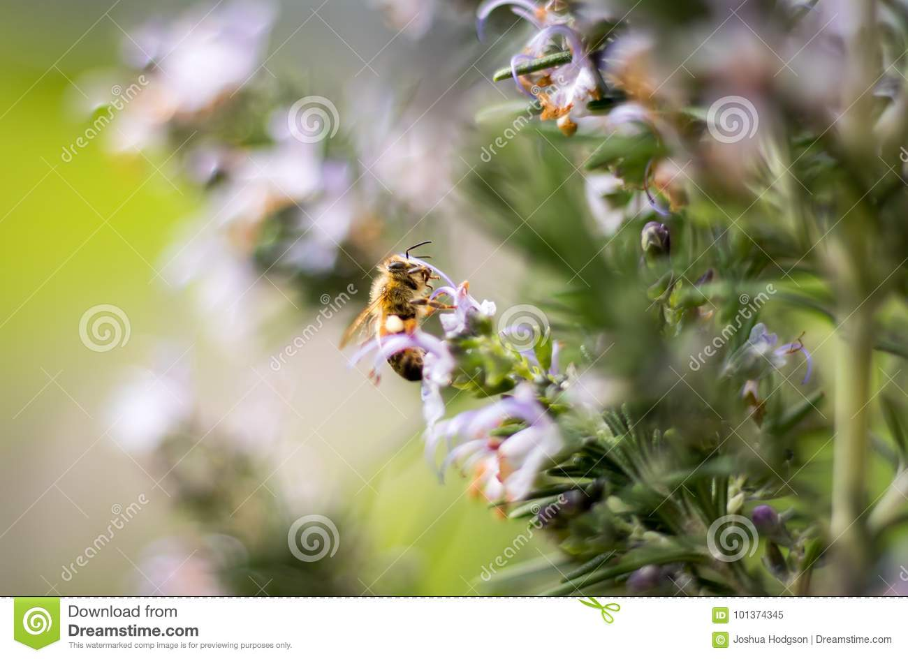 Honey Bee On Rosemary Bush stock image  Image of herb - 101374345