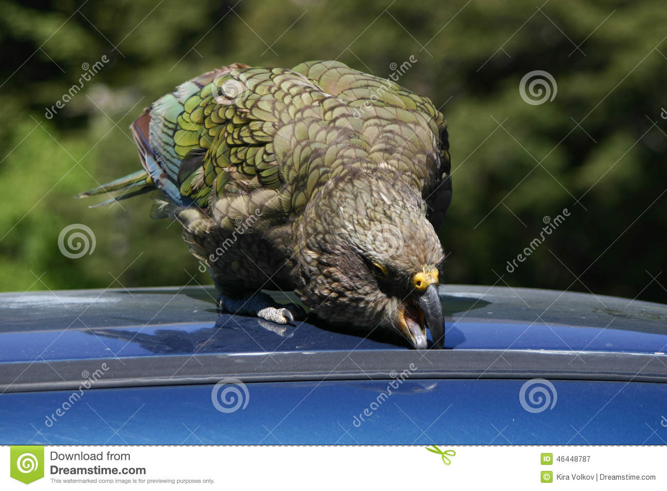 new zealand native bird kea parrot trying to get into a clipart sound clipart sound