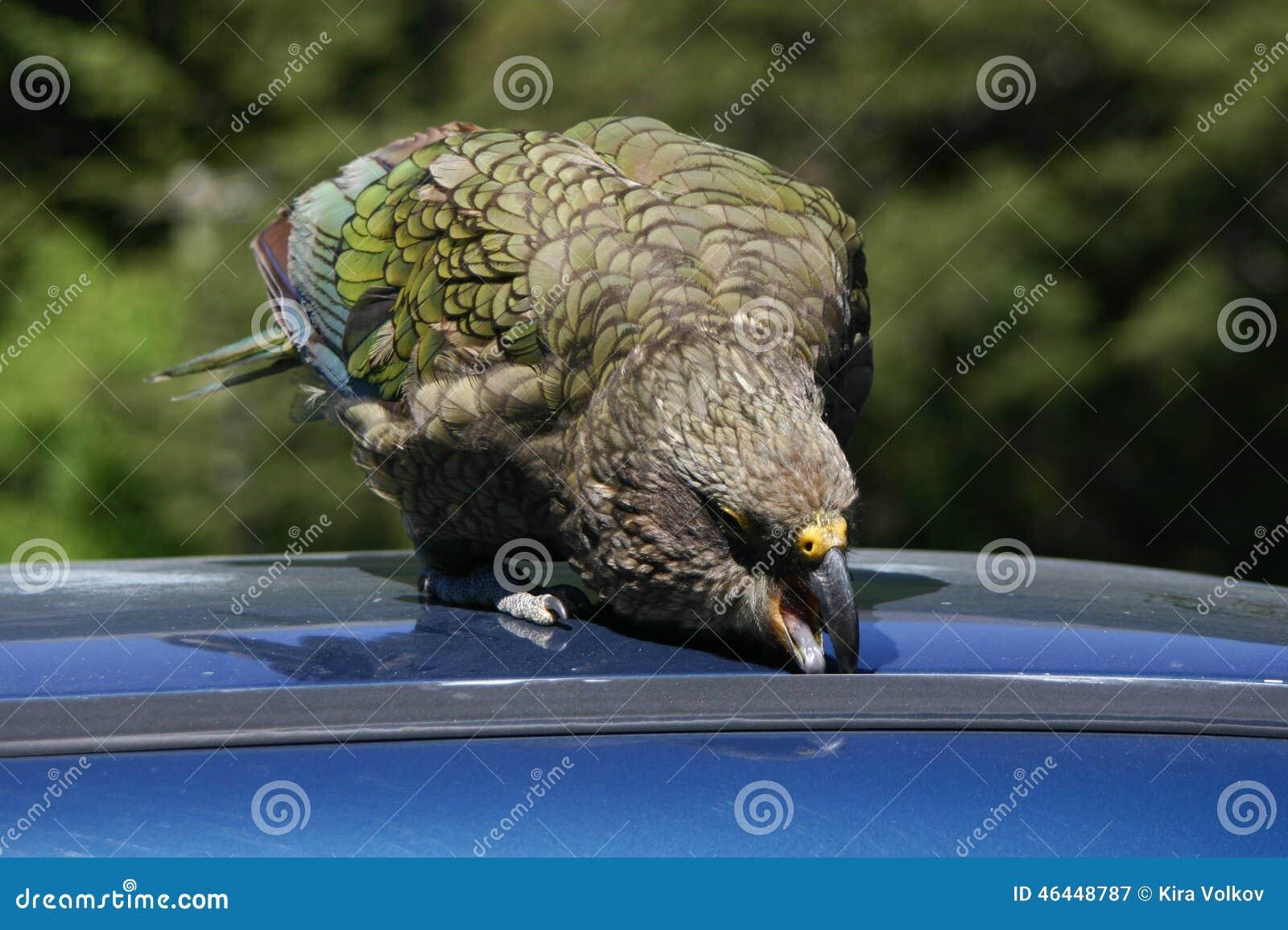 new zealand native bird kea parrot trying to get into a victor birdsong charles city facebook victor bird usa judo 2018