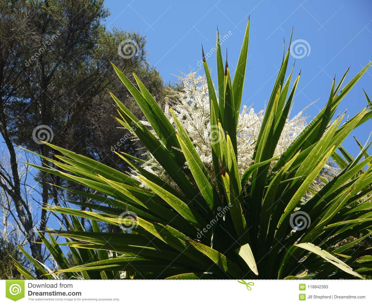 New Zealand Native Cabbage Tree Flower Cordyline Australis Stock Image Image Of Forest Green 118842393
