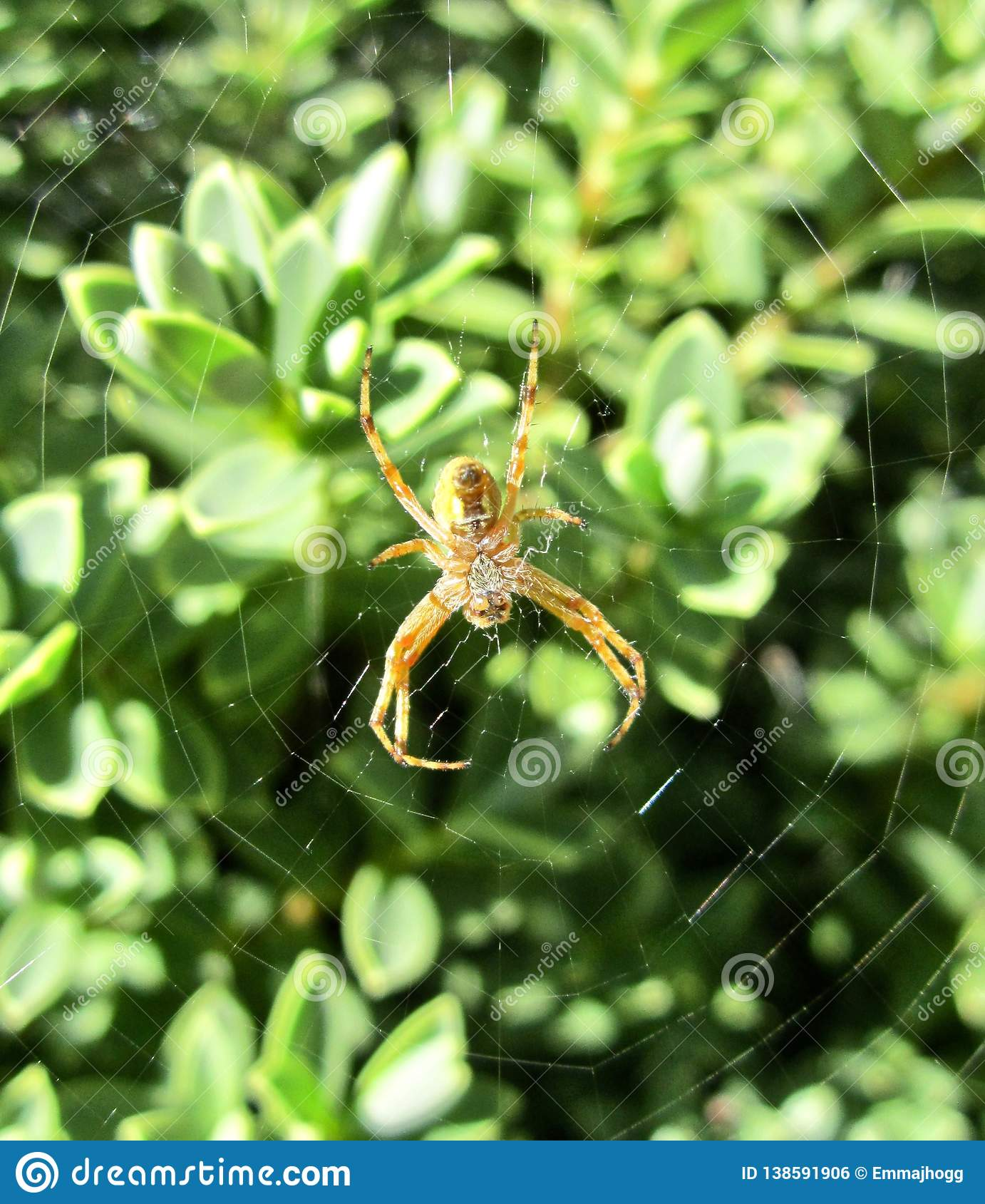 New Zealand Native Orb Web Spider Stock Photo Image Of Summer