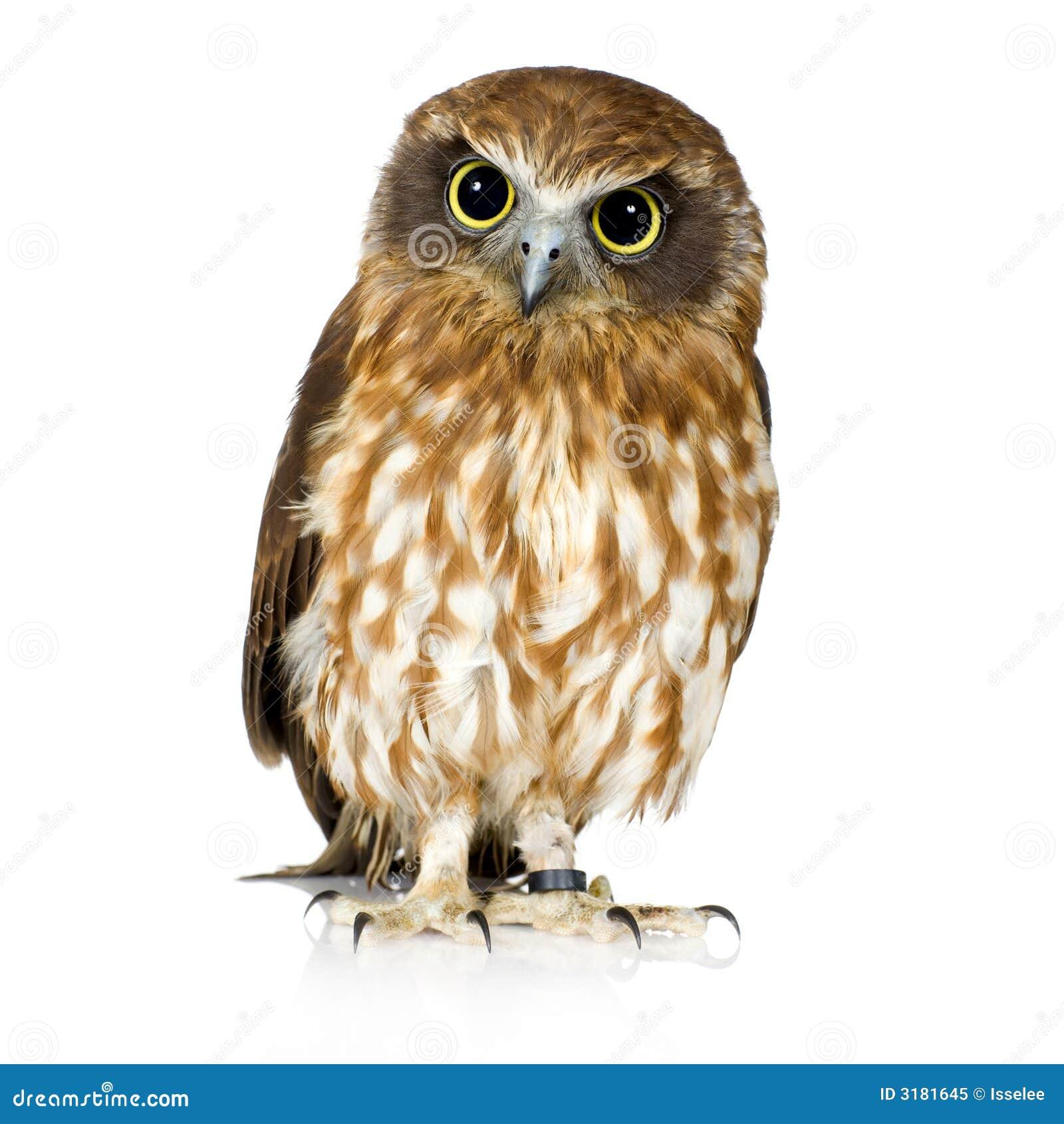 New Zealand owl stock image. Image of vertebrate, nature ...