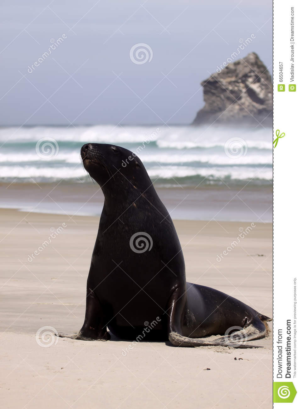 New Zealand Sea Lion, Phocarctos Hooker, Stretches On The