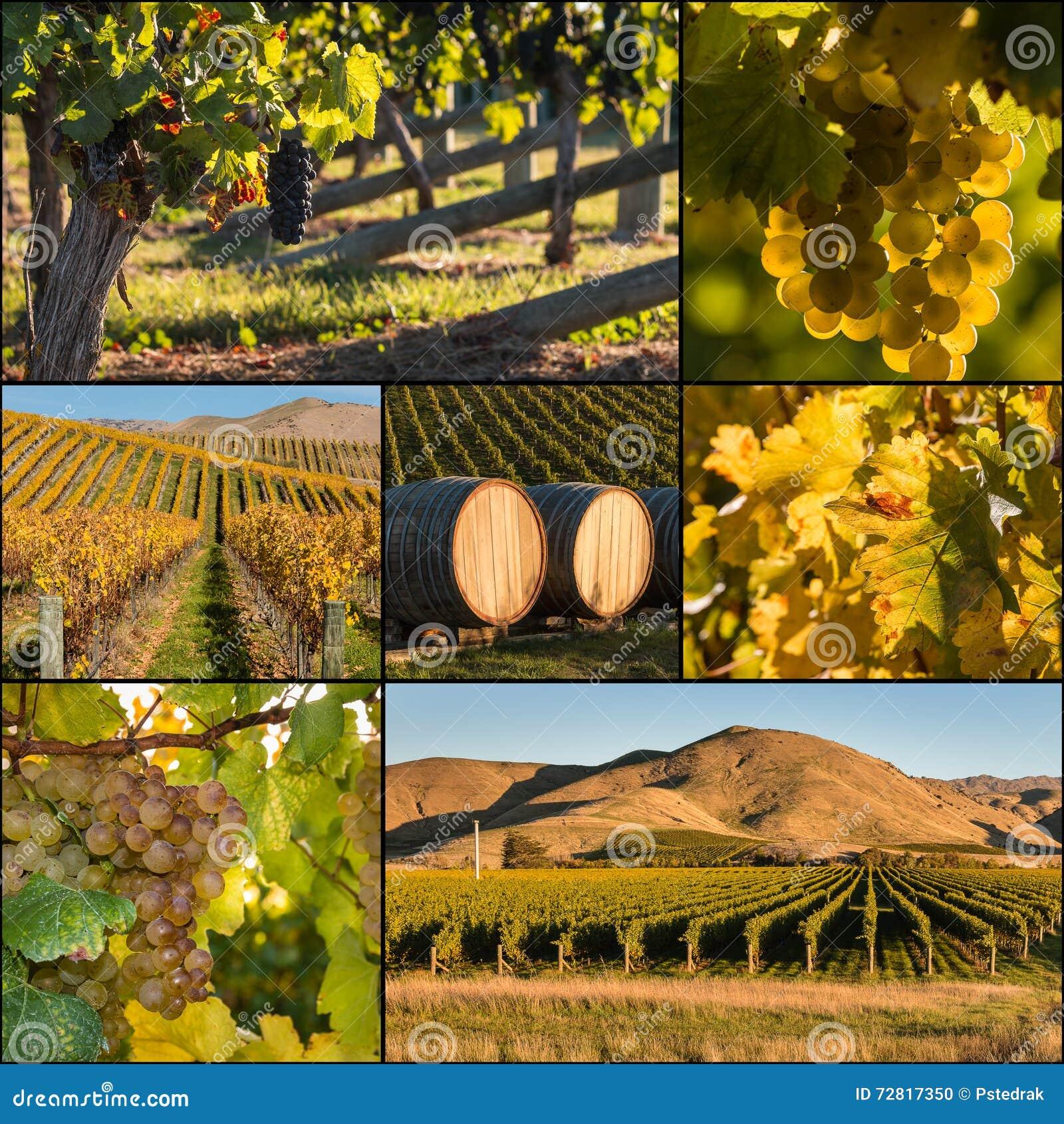 New Zealand vineyards at harvest