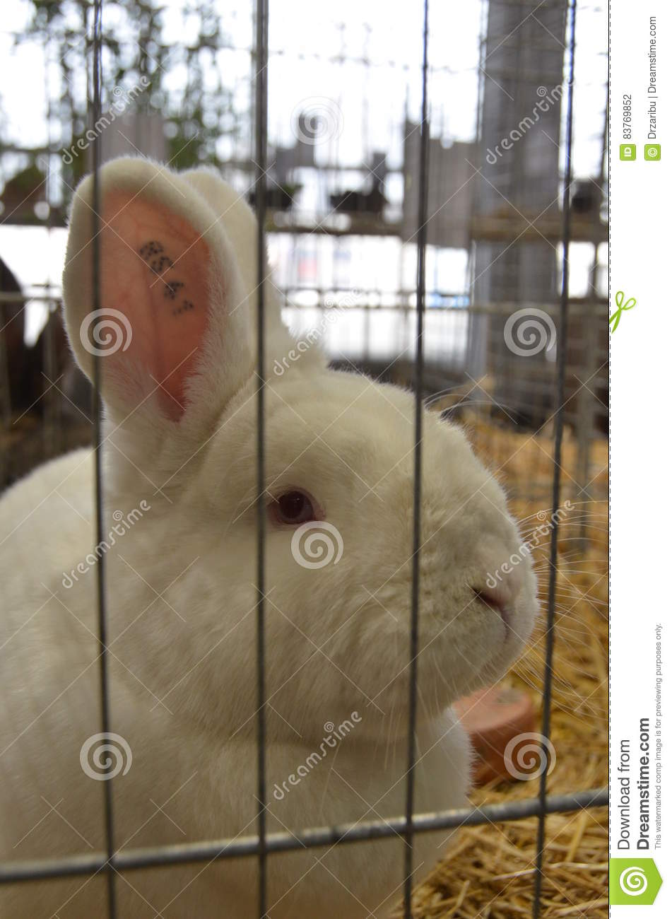 New Zealand White Rabbit Stock Photo Image Of Rabbit 83769852