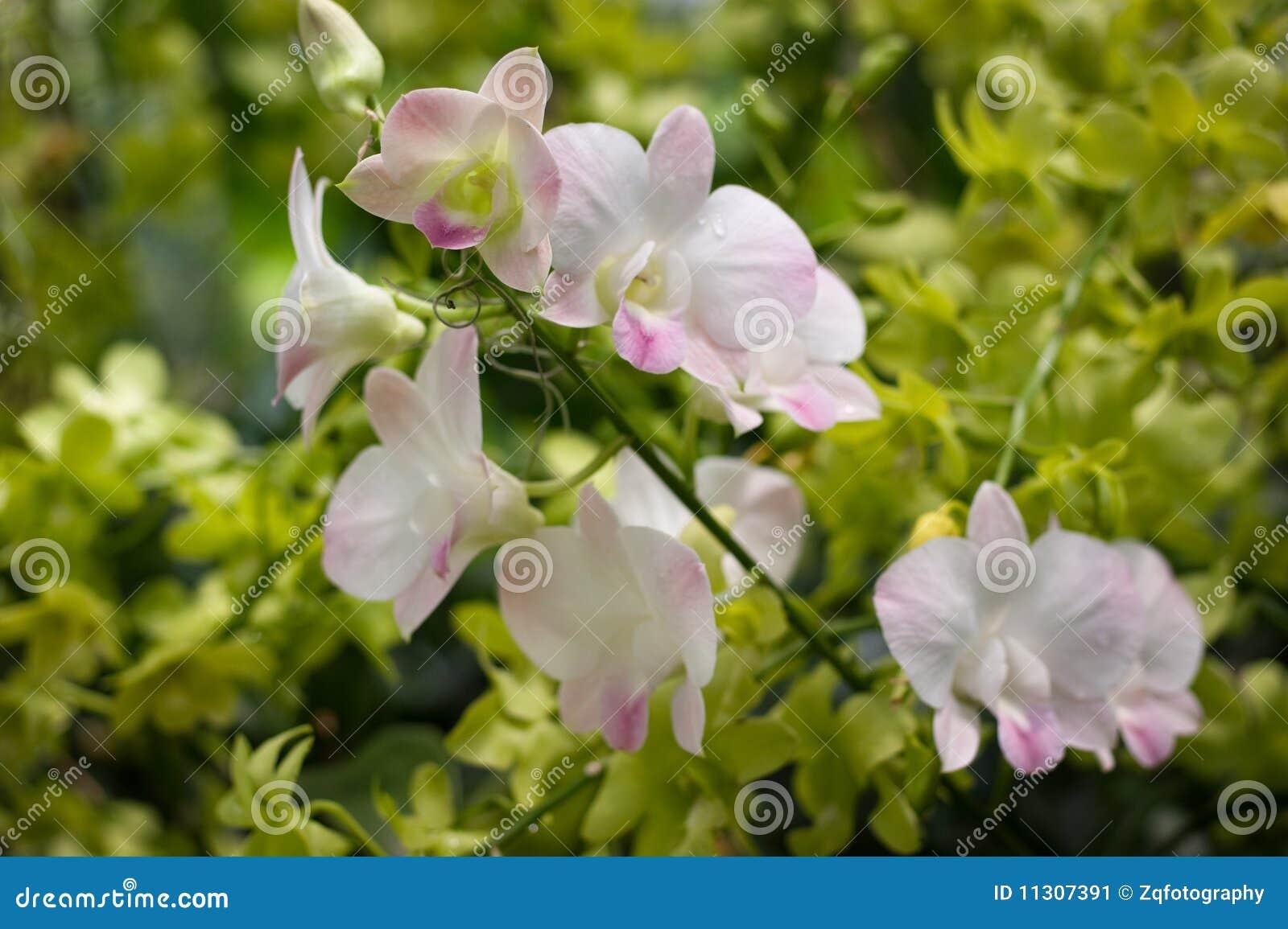 Newberry Parfait ?Picotee? Orchidee
