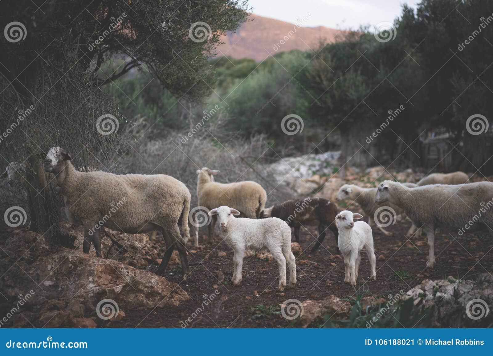 Newborn белые овечки и стадо в зиме