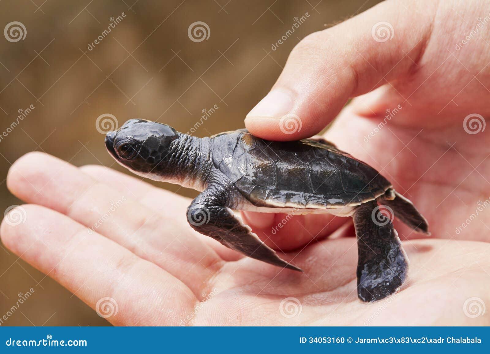 Newborn черепахи