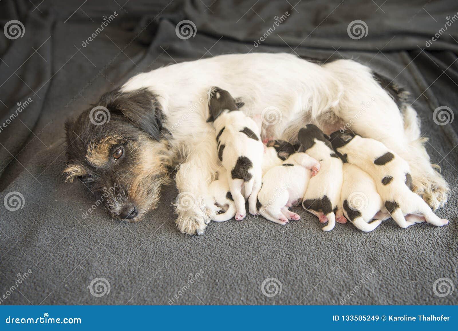 Newborn щенята собаки - 8 дней старых - doggies терьера Джек Рассела