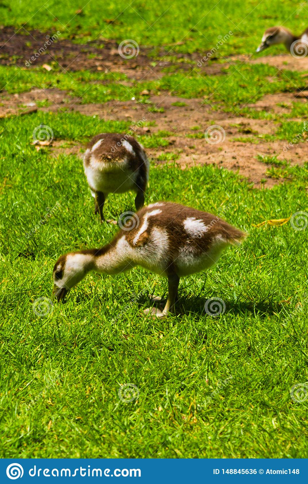 Newborn baby duck playing in the park