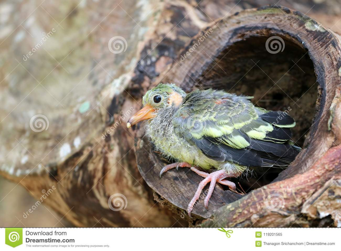 Newborn Or Baby Green Pigeons Bird On The Tree In The ...