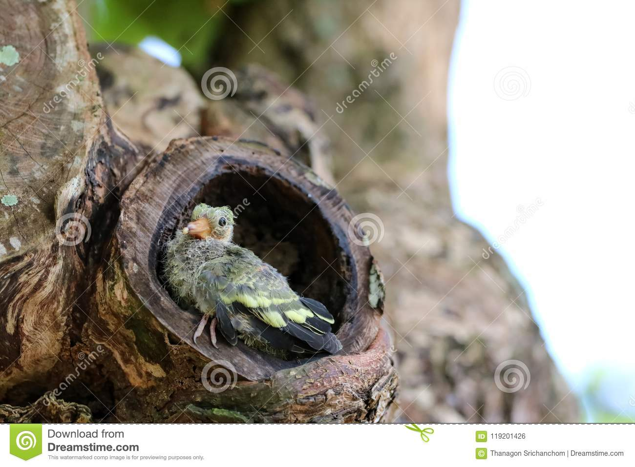 Newborn Or Baby Green Pigeons Bird Watching The Forest On ...