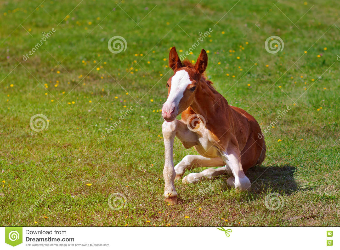 Newborn Baby Horse Tries To Stand On His Feet Stock Image Image Of Carefree Affectionate 71434641