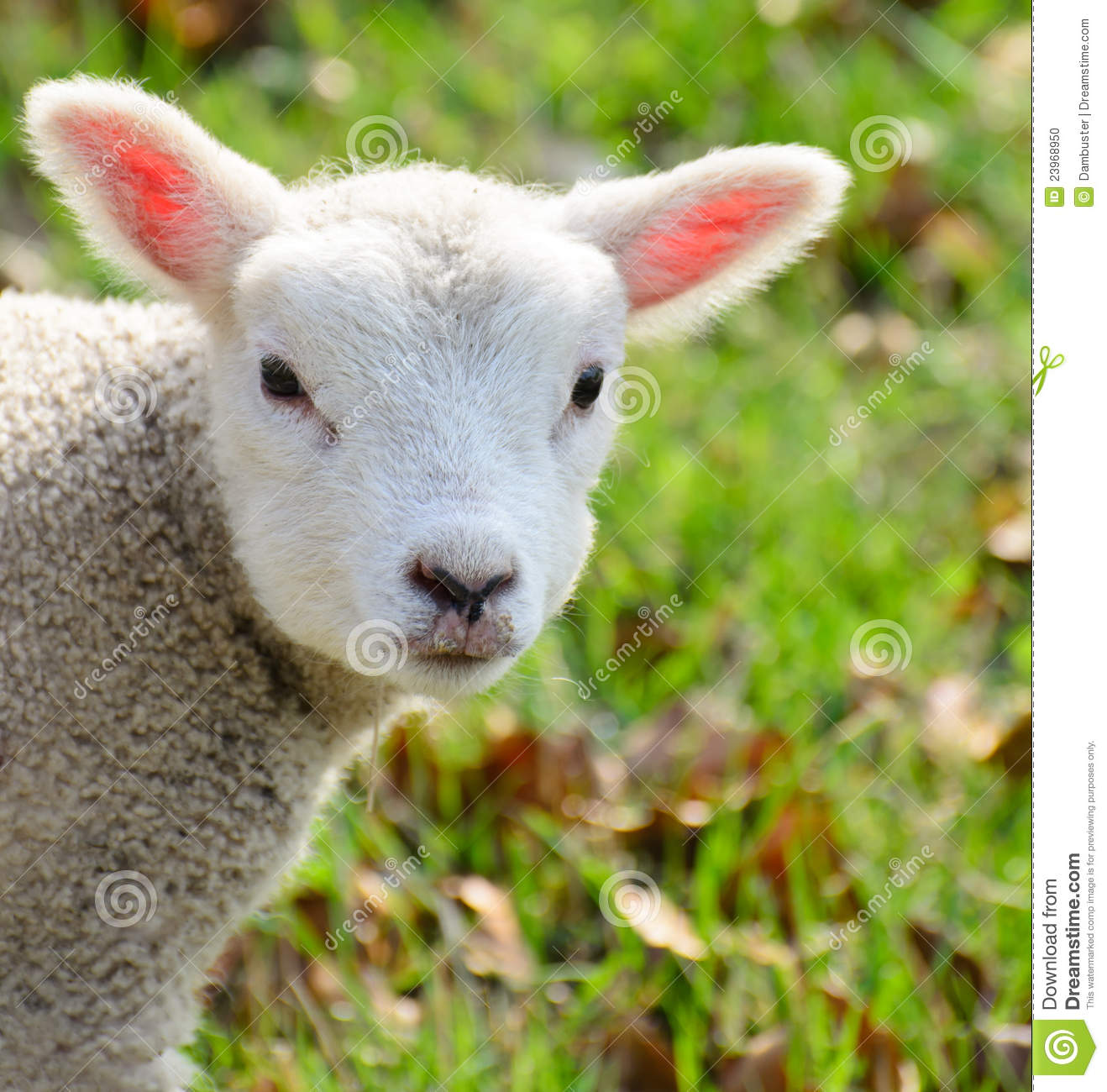 Newborn baby lamb stock photo. Image of happy, adorable - 23968950 for baby lamb in spring  143gtk