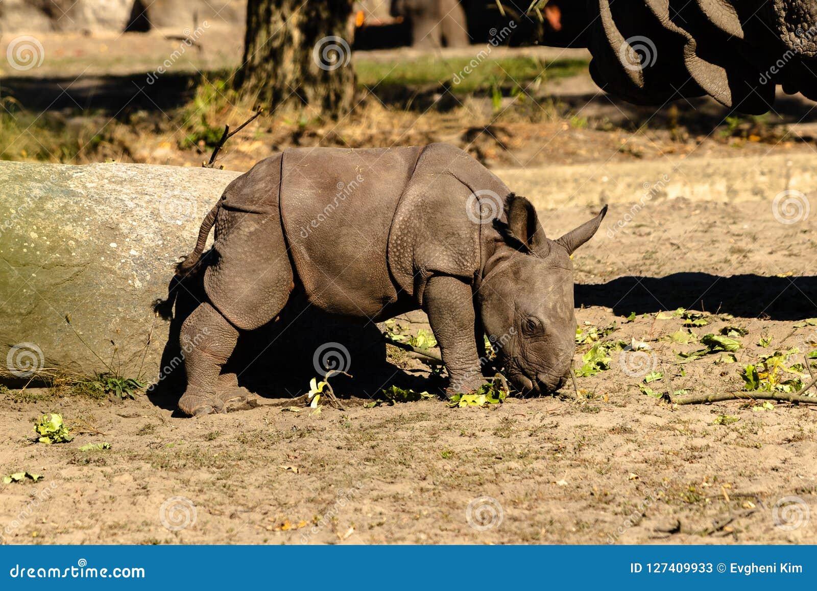 A newborn baby Rhino at the zoo.