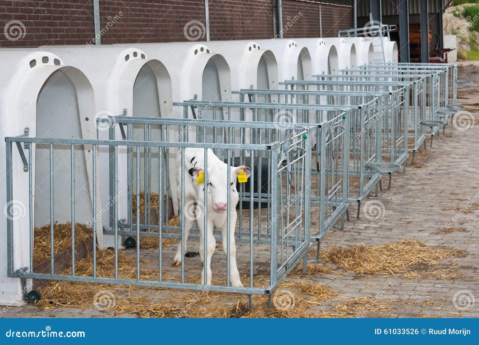 Newborn Calf Stands Next To The Calf Pen Stock Photo