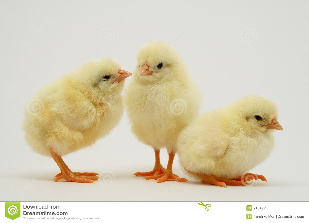 newborn chicks royalty free stock photo image 2104225 easter bunny clipart png easter bunny clip art free images